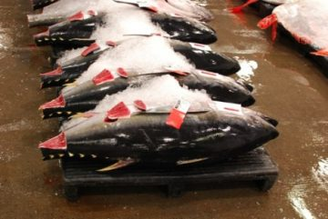 Honolulu-Fish-Auction-Bluefin-Tuna