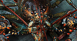 lobsterDM0811_468x521