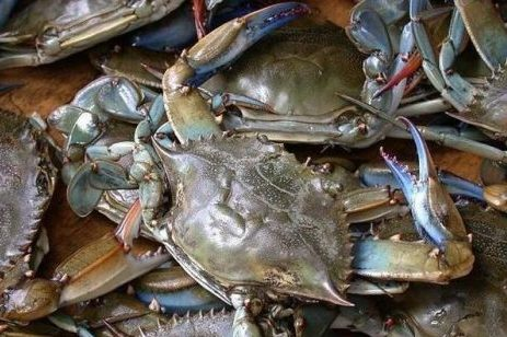 Chesapeake Bay blue crab rebounding in 2019, led by near-doubling of juvenile crab population