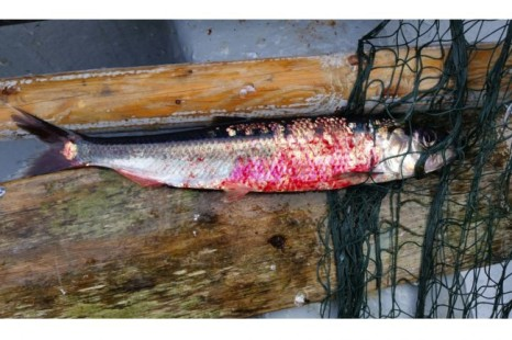 red herring caught off long harbour