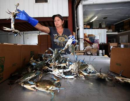 State stops issuing new crabbing licenses