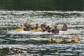 otters-tokeen-bay