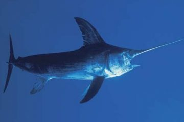 Pacific-swordfish_photo-credit-Britannica-Kids