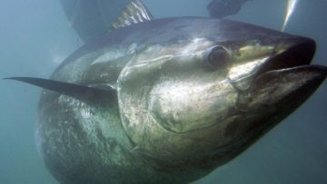 hi-852-bluefin-tuna-0074651