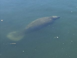 manatee-off-cape-cod