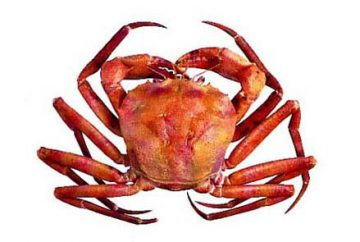 Atlantic red crab