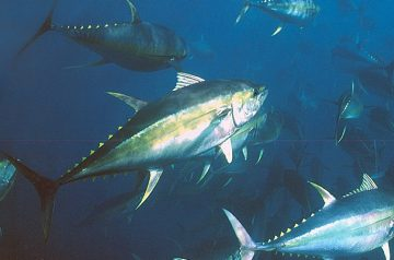 yellowfin-pg-14-two_edited-1
