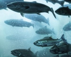 atlantic-salmon-aquaculture