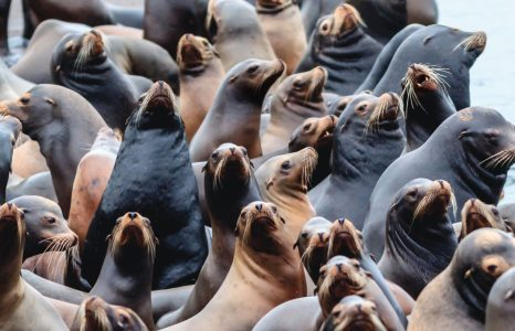Should Oregon Kill Sea Lions to Save the Salmon?