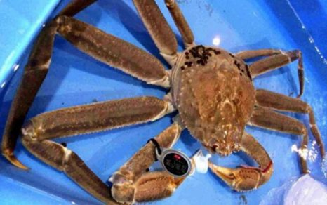 A single Snow crab fetches record $24,000 at Japan auction