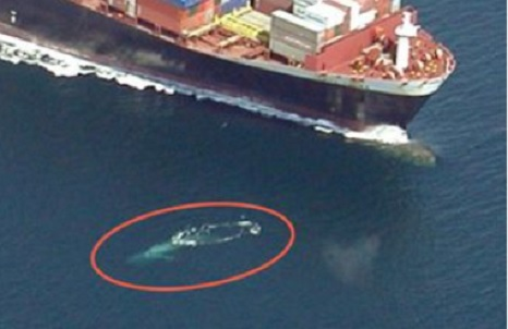 Enviro group says it may sue NMFS and Coast Guard to prevent whale deaths from ship strikes