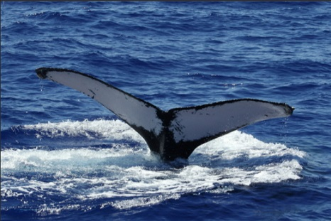 No North Atlantic Right Whale Deaths In Canadian Waters This Year