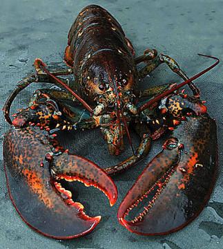 lobsterDM0811_468x521