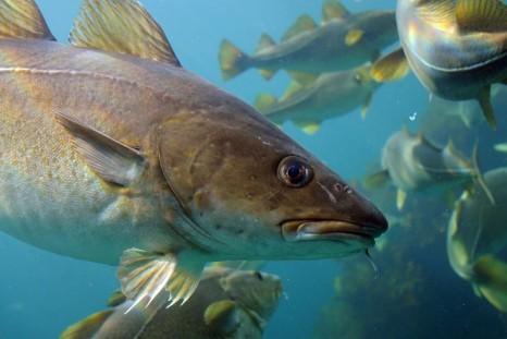 Atlantic cod-