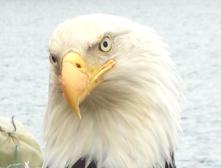 flameguard eagle