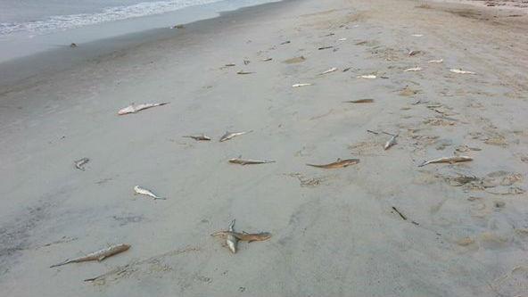 Oak Island dead sharks