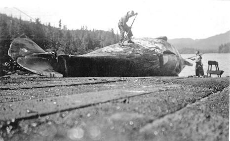 bc whaling history