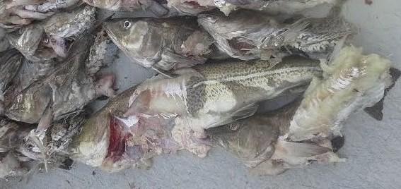 seals eat cod 5