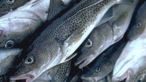 cod-fish-852