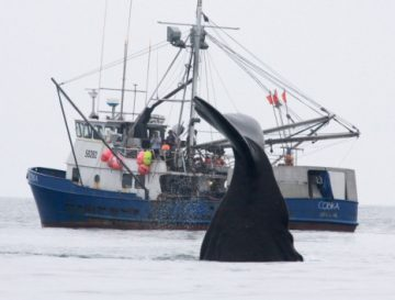 whales stealing fish from long lines alaska