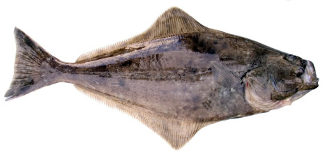 pacific_halibut