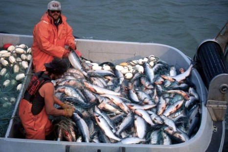 Bristol Bay fishermen pull sockeye or red salmon from a net near Naknek, Alaska