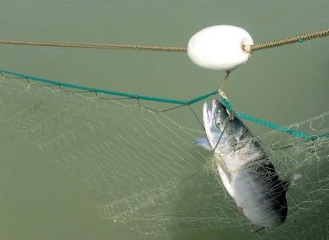 Bad Fraser River sockeye run has salmon watchers worried