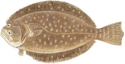 flounder-southern