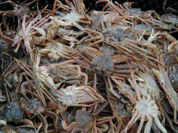 snow crab alaska