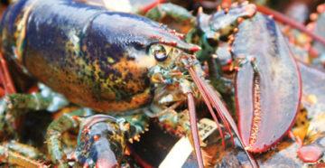 live-lobster
