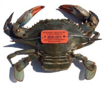 blue crab tagged1024x1024