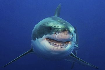 great_white_shark_11