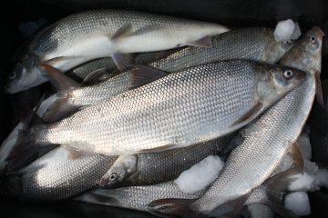 whitefish lake michigan