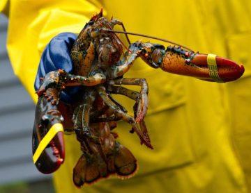 American-lobster