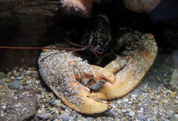 106821214_giant-lobster-NEWS-large_trans++jJeHvIwLm2xPr27m7LF8maVev2aD5m0eWCA6z67PTLM