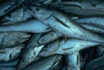 pacific whiting hake