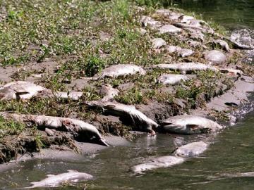 salmon die off-lawsuit