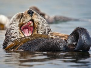 california-sea-otter-enhydra-lutris-seen-resting-in-a-colony-of-sea-otters