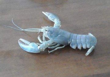 albino-lobster