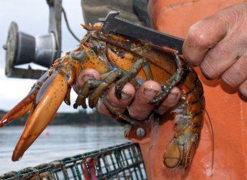 measuring-lobster_8468_990x742