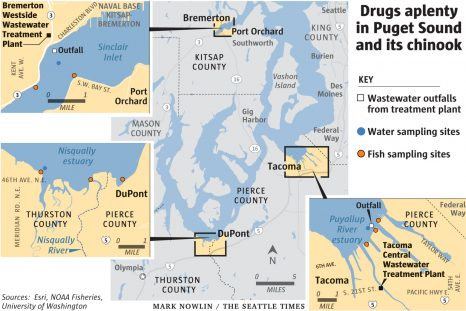 Puget Sound salmon do drugs, which may hurt their survival