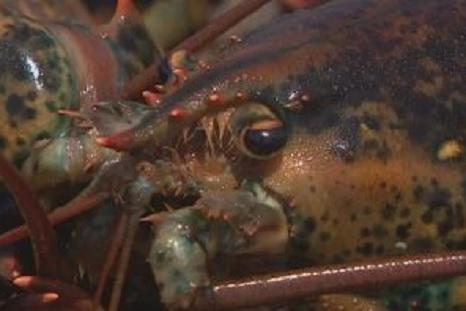 Nova Scotia Live Lobster Exports to China Hit a Snag